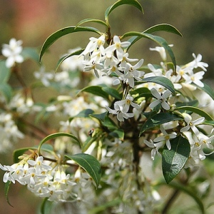 osmanthe-fleur-blanc-carre